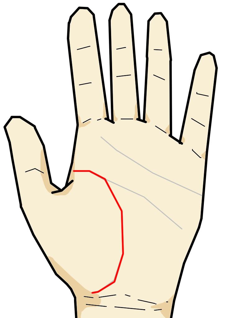 ・生命線  生命線は生命力や生活力を意味する線です。この線は人差し指の下から手首側に向けて弓形を描く線です。健康体であればおよそ1mm幅以上の幅で描かれます。もしも生命線に島・切れ・妨害線などあれば、体調の変化を生じることを意味する訳です。